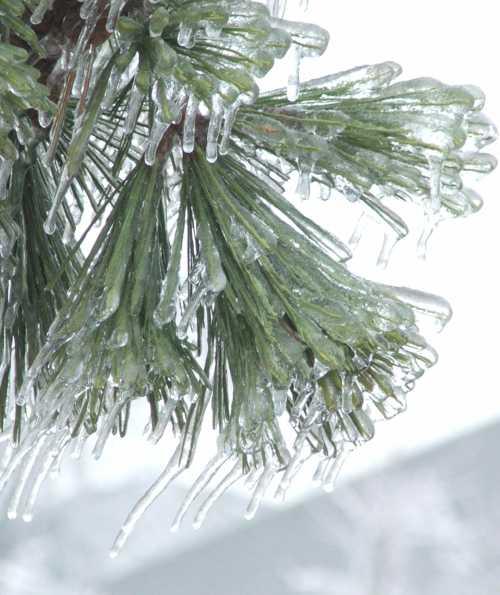 ice-storm-evergreen-burden.jpg