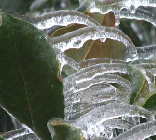 ice-storm-magnolia.jpg