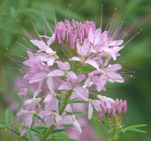 16july07-cleome-from-eastern-wyoming.jpg