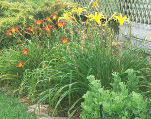 16july07-daylilies-and-sedum.jpg