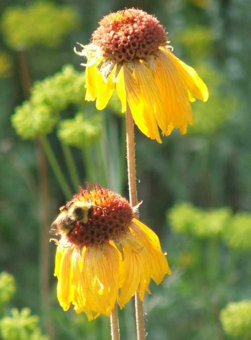 coneflower-with-bumblebee.jpg