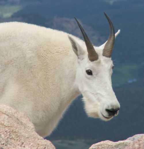 dominant-male-mountain-goat.jpg