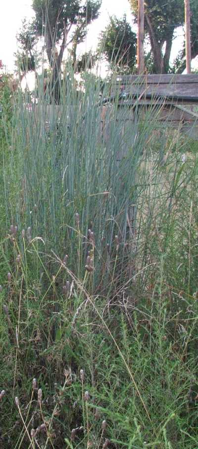 09aug-2007-cheyenne-indiangrass.jpg