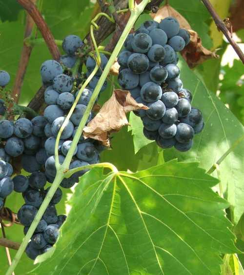 14aug-2007-ripe-chambourcin-grapes.jpg