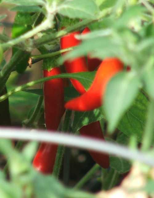 chilies-on-the-hoof.jpg