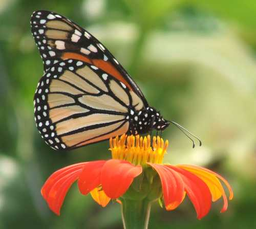 monarch-butterfly2.jpg