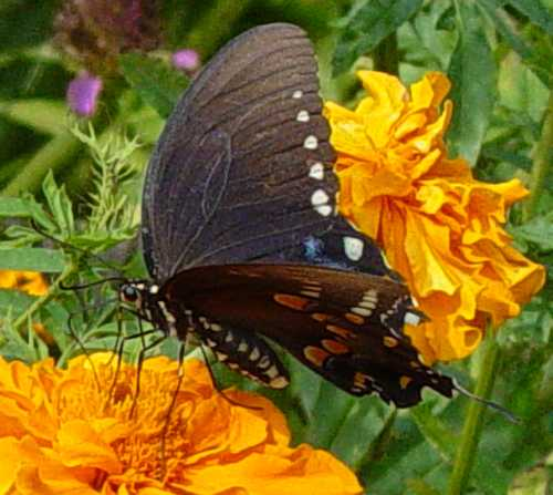 swallowtail-on-marigold.jpg