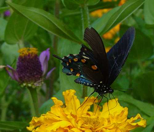 swallowtail-on-marigold2.jpg