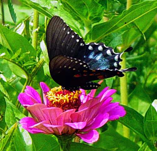 swallowtail-on-zinnia.jpg