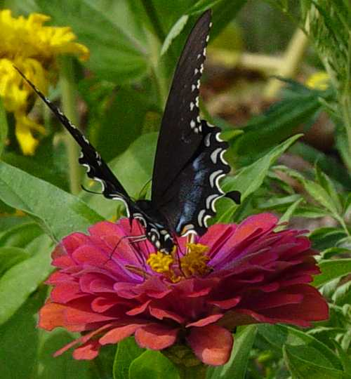 swallowtail-on-zinnia5.jpg