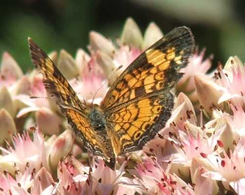 02sept2007-butterfly-on-sedum-2.jpg