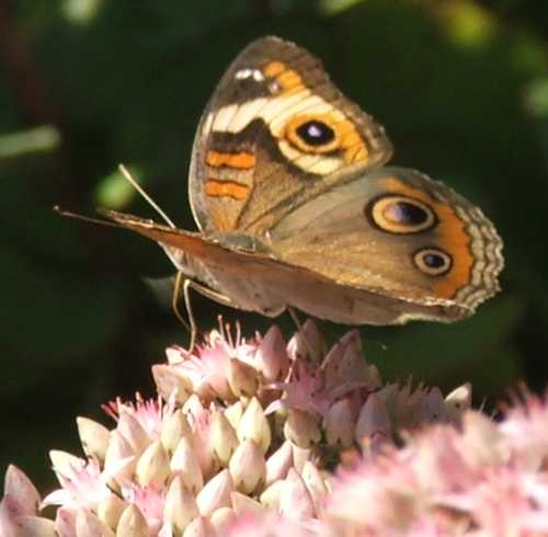 02sept2007-butterfly-on-sedum-3.jpg