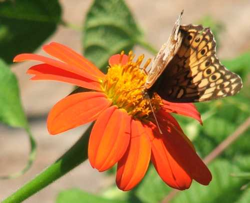 02sept2007-butterfly-on-torch-tithonia.jpg