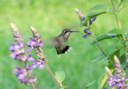 10sept2007-hummingbird.jpg