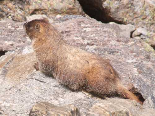 papa-marmot.jpg