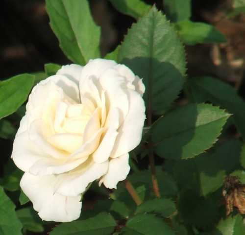 sept-gbbd-miniature-rose.jpg