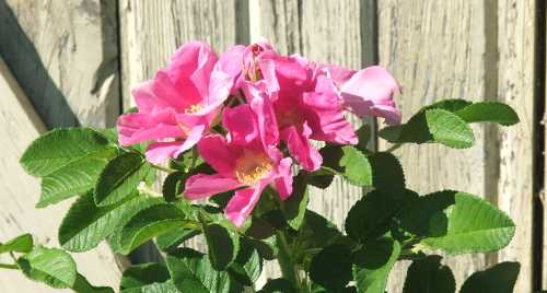 sept-gbbd-rugosa-rose-2.jpg
