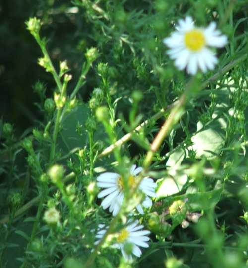 white-asters.jpg