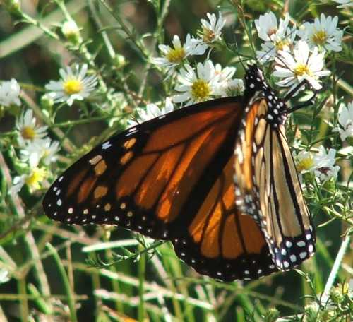 06october2007-monarch-on-asters.jpg