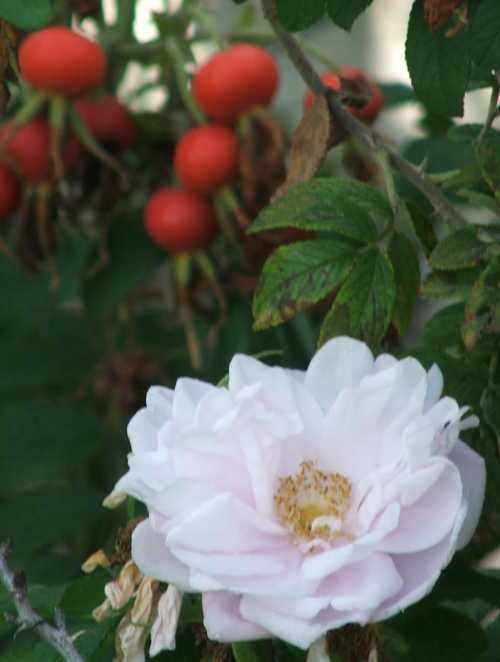 gbbd-oct-07-rugosa-rose.jpg