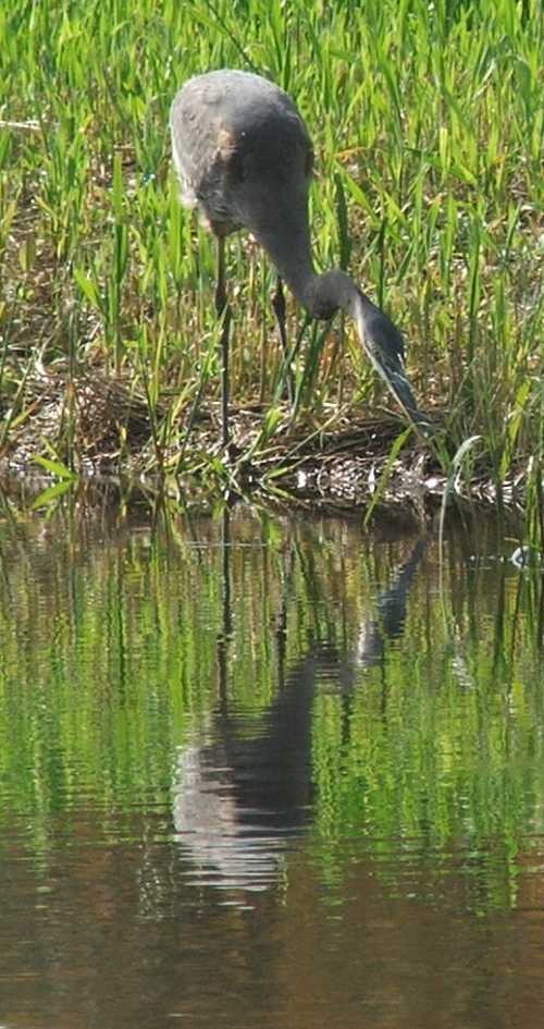 heron-fishing.jpg
