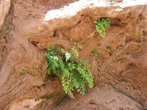 maidenhair-fern-on-sandstone.jpg