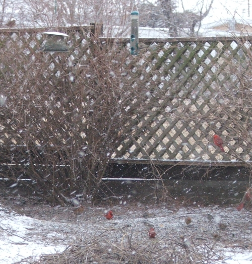 birds-in-the-yard-31-jan-2007.jpg