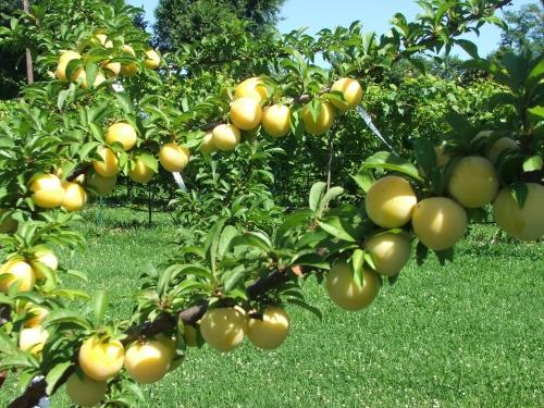 Protegiendo los árboles frutales de las aves | ThriftyFun