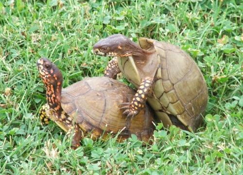 Boxer turtle sex