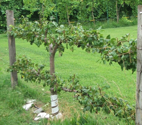 Espalier Maintenance The Havens