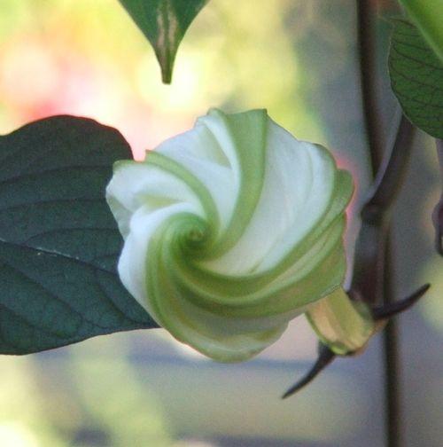 GBD Sept moonflower bud