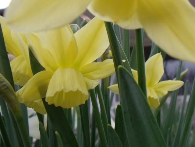Daffodils Narcissi Jonquils What S The Difference